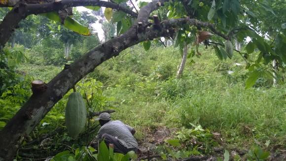Le cacao en Haïti : une richesse à valoriser