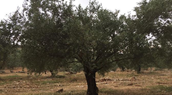 Palestine: l'olivier de la discorde